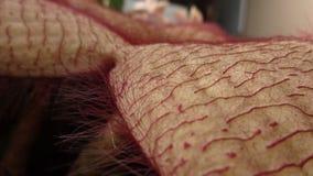 腐尸花-被关闭的非洲海星 库存图片