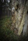 腐朽的苏格兰松树树干在苏格兰 免版税图库摄影