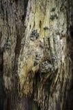 腐朽的苏格兰松树树干在苏格兰 免版税库存图片