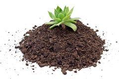 腐植质与houseleek植物的土壤堆 库存图片