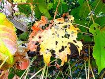 腐烂的叶子 免版税图库摄影