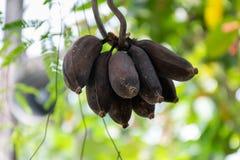 腐烂的培养的香蕉轮黑色 免版税库存图片