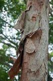 腐烂的木吠声树干europaea 库存照片