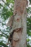 腐烂的木吠声树干europaea 免版税库存图片