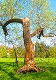 腐烂的树在公园 免版税库存照片