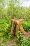 腐烂的树干在森林里 图库摄影