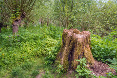 腐烂的树干在森林 免版税库存照片