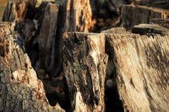 腐烂的树干在莱姆公园,斯托克波特高峰区国家公园彻斯特英国冬日 免版税库存照片