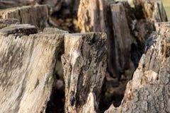 腐烂的树干在莱姆公园,斯托克波特高峰区国家公园彻斯特英国冬日 免版税库存图片