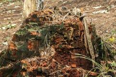 腐烂的树干特写镜头 库存照片
