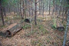 腐烂的树干长满与云杉 库存图片