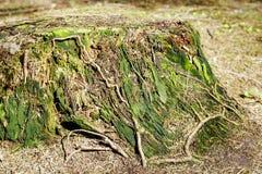 腐烂的树干从前击倒的树 库存图片