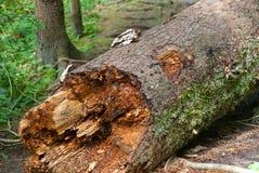 腐烂的树干 免版税库存图片