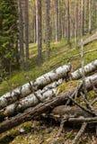 腐烂的桦树树干在土坎森林里 库存图片