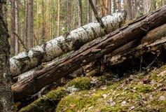 腐烂的桦树树干在土坎森林里 免版税库存图片