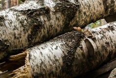 腐烂的桦树树干 免版税库存照片