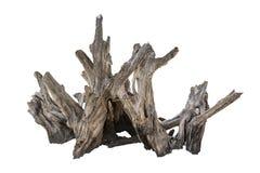 腐烂的死的树干,老木朽烂隔绝在白色Backg 免版税库存照片