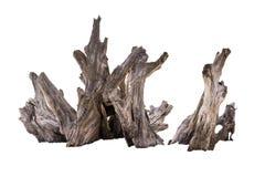 腐烂的死的树干,老木朽烂隔绝在白色Backg 免版税库存图片