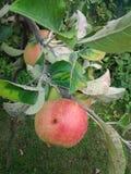 腐烂的苹果 免版税库存照片