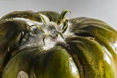 腐烂的蕃茄 免版税库存照片