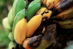 腐烂的香蕉成熟和 免版税库存照片
