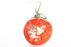 腐烂的Tomatoe 免版税库存照片