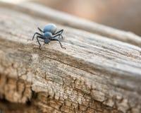 腐败的甲虫在日志关闭 免版税库存图片