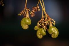 腰果开花和种子在阳光下 免版税库存图片