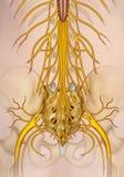 腰部和骶神经分支例证 库存例证