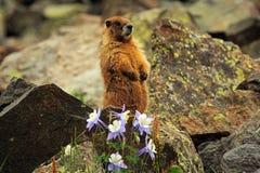黄腹吸汁啄木鸟的土拨鼠在落矶山在科罗拉多 库存图片