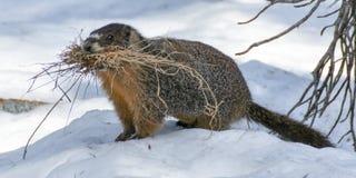 黄腹吸汁啄木鸟的土拨鼠-早獭flaviventris 免版税库存图片