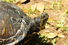 黄腹吸汁啄木鸟的滑子乌龟 免版税库存图片