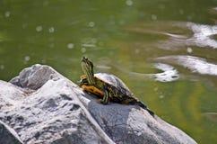 黄腹吸汁啄木鸟的滑子乌龟(Trachemys scripta) 库存图片