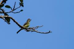 黄腹吸汁啄木鸟的Elaenia 库存照片