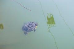 黄腹吸汁啄木鸟的Trachemys或拉特 Trachemys scripta乌龟在池塘 库存照片