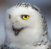 腹股沟淋巴肿块多雪猫头鹰的scandiacus 免版税库存照片
