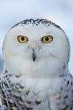 腹股沟淋巴肿块多雪猫头鹰的scandiacus 免版税库存图片