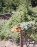 腹股沟淋巴肿块腹股沟淋巴肿块-真正的猫头鹰 免版税库存图片