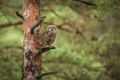 腹股沟淋巴肿块africanus到森林里 图库摄影