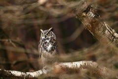 腹股沟淋巴肿块virginianus 美丽的猫头鹰 他在北美住 库存照片