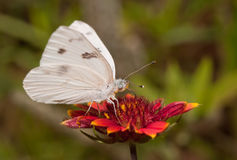 腹观点的一只方格的白色蝴蝶 图库摄影