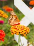 腹观点的一只杂色的贝母蝴蝶 免版税图库摄影