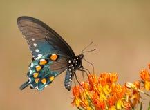 腹观点的一只绿色Swallowtail蝴蝶 免版税库存照片