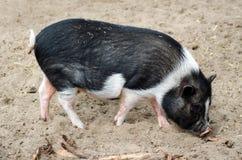 腹部猪罐 库存照片