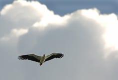 腹部老鹰海运白色 库存图片