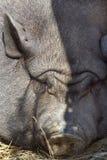 腹部表面滑稽的猪罐 免版税图库摄影
