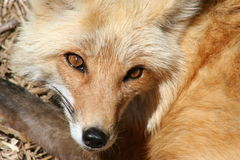 腼腆的狐狸 图库摄影