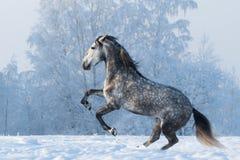 腾跃在冬天草甸的纯血统马 免版税库存图片