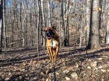 腾跃在秋天森林的狗 库存图片