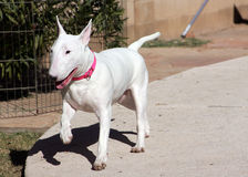 腾跃白的杂种犬 免版税库存照片
